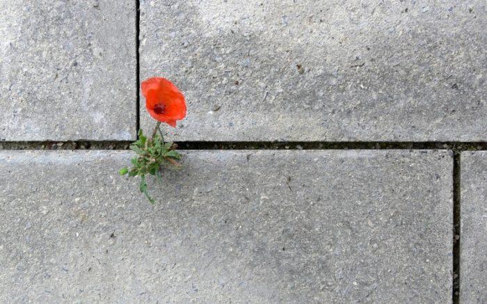 Blume, die aus dem Beton wächst.