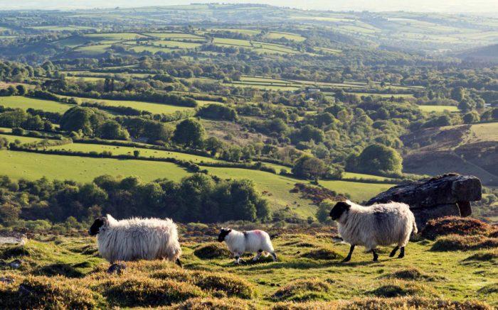 Schafe laufen über eine Hügellandschaft.