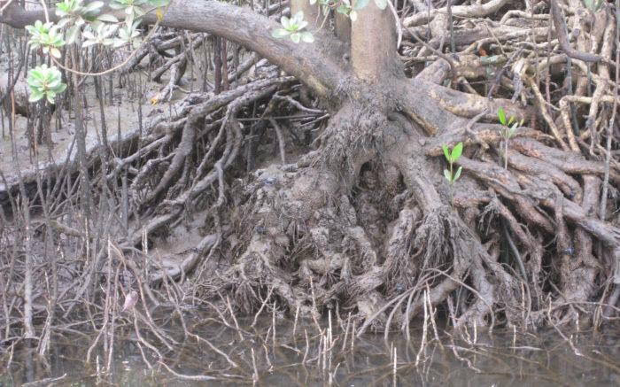 Wurzeln eines alten, knorrigen Baumes im Wasser, dazwischen neue Pflanzentriebe