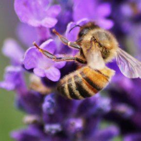 Eine Biene auf einer Lavendelblüte