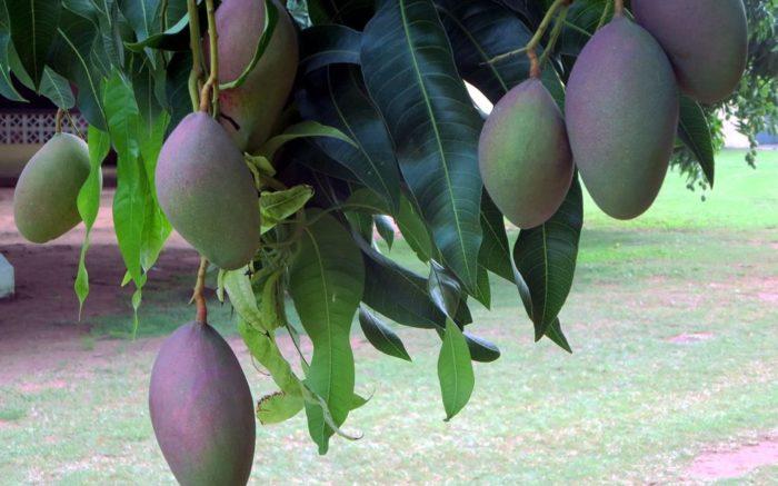 Mangos hängen vom Baum.