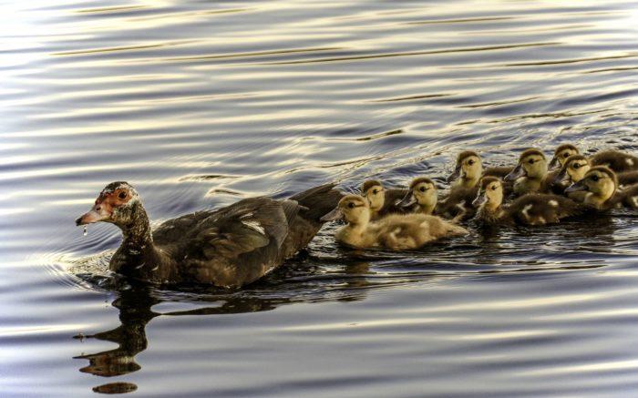 Eine Entenfamilie schwimmt im Wasser