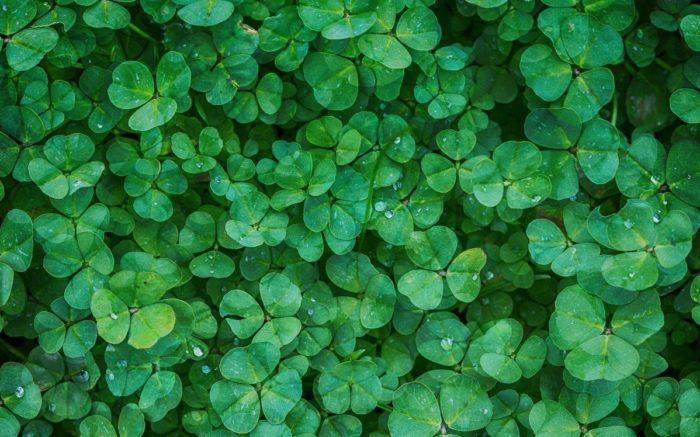 Ein Beet mit grünen Kleeblättern